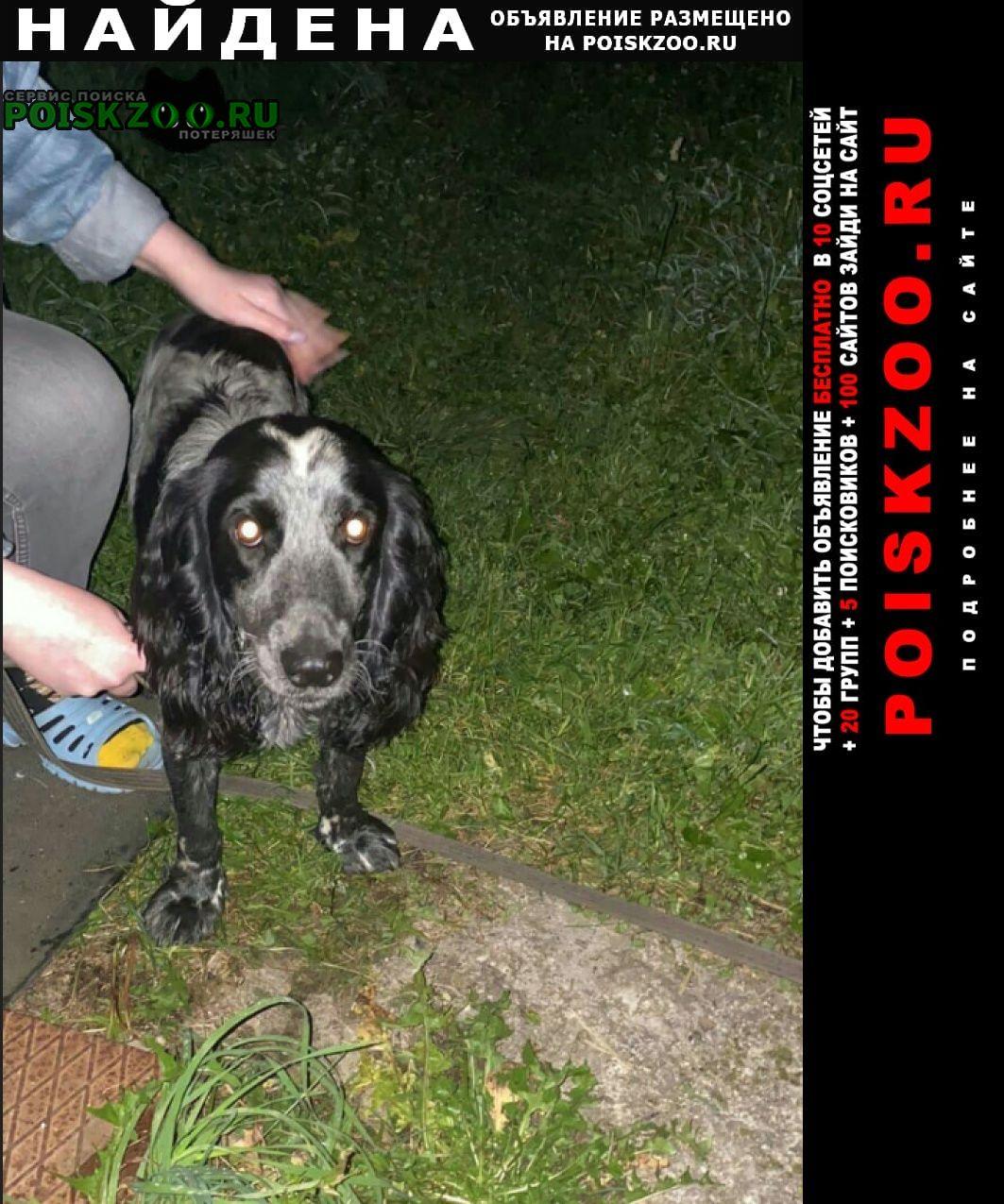 Найдена собака черно-пегий спаниель кобель Иваново
