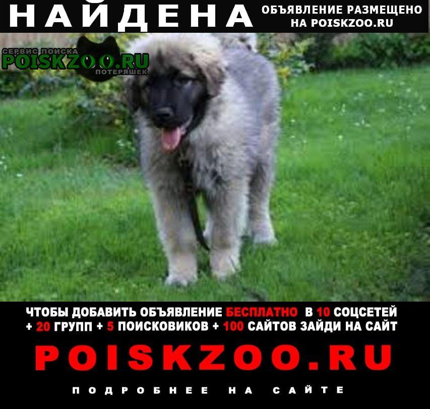 Найдена собака кавказская овчарка возраст 3 мес Лазаревское