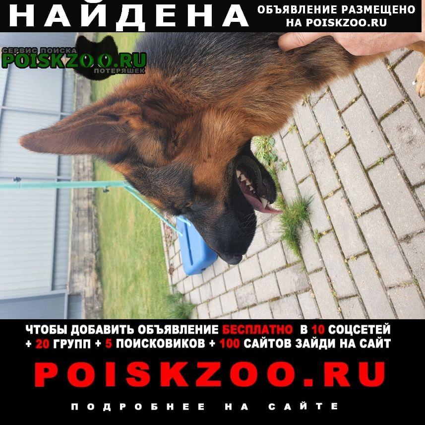 Найдена собака кабель немецкая овчарка Балабаново