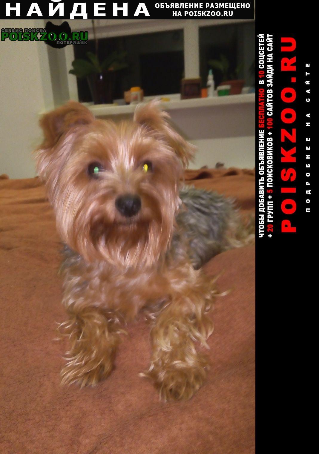 Найдена собака йоркширский терьер Зеленоград