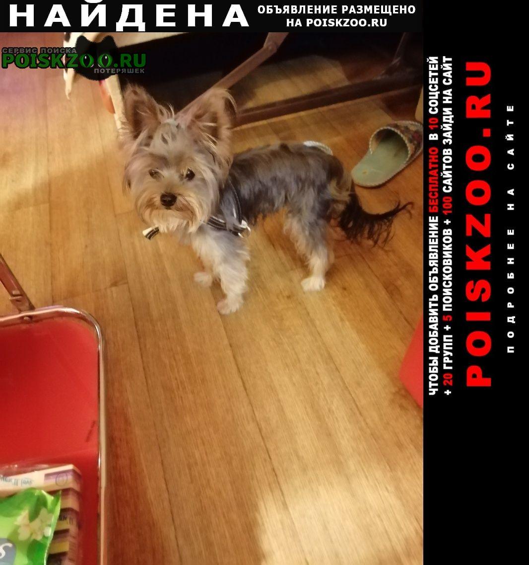 Найдена собака йоркшир Хабаровск