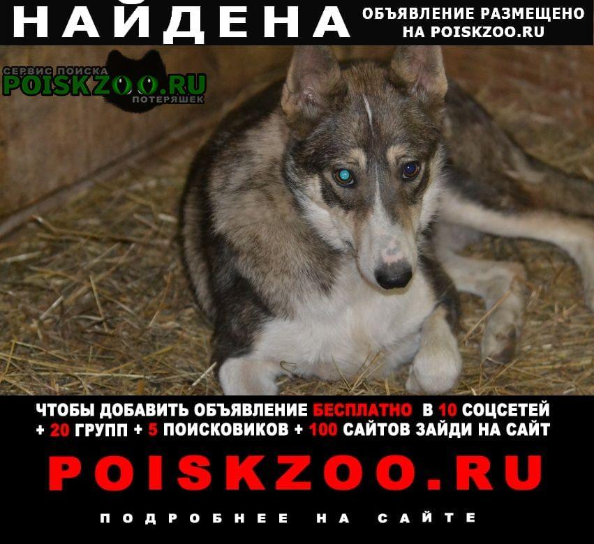 Найдена собака очень похожа на лайку Шатура