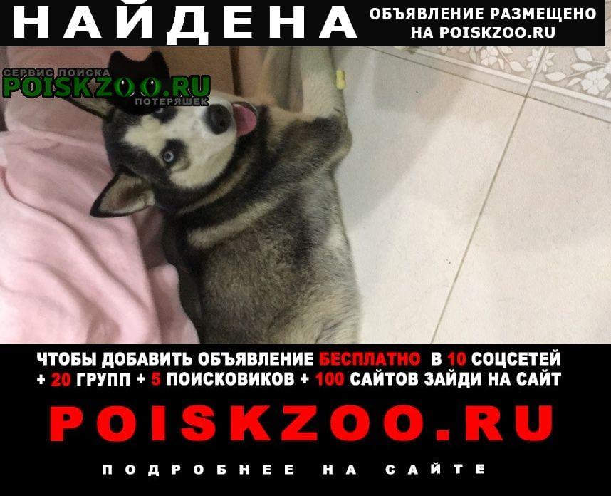 Найдена собака хаски девочка Южно-Сахалинск