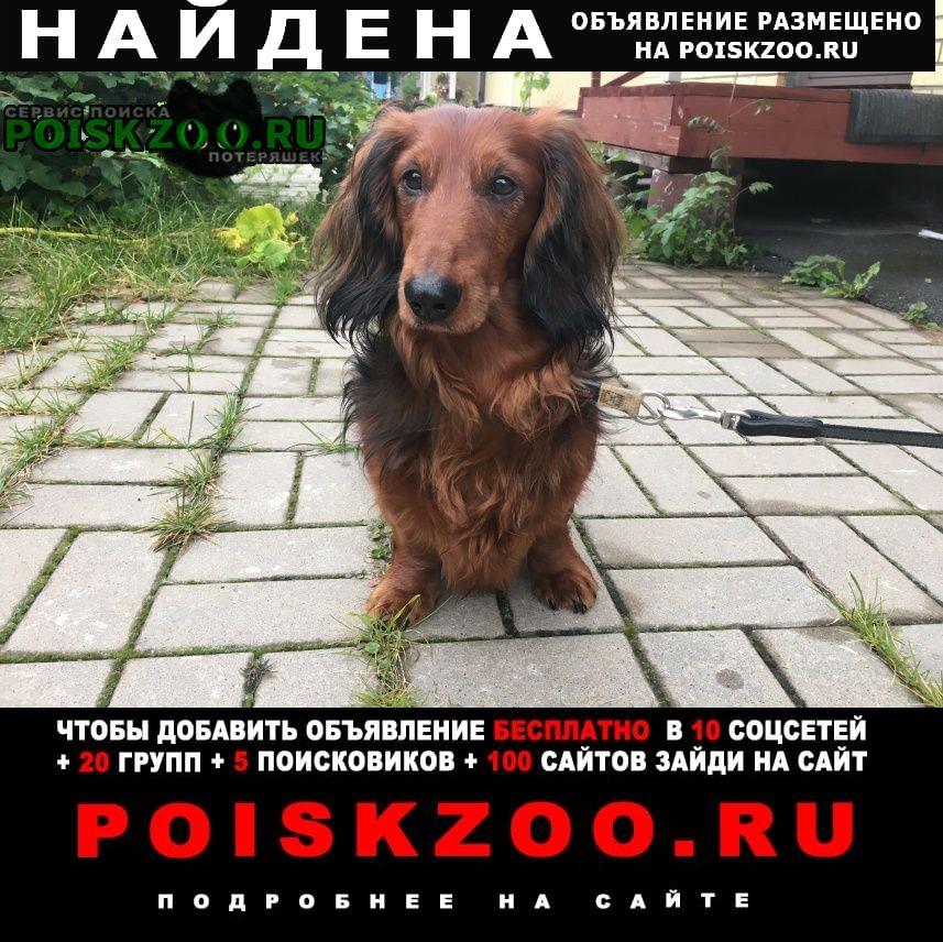 Найдена собака такса Санкт-Петербург