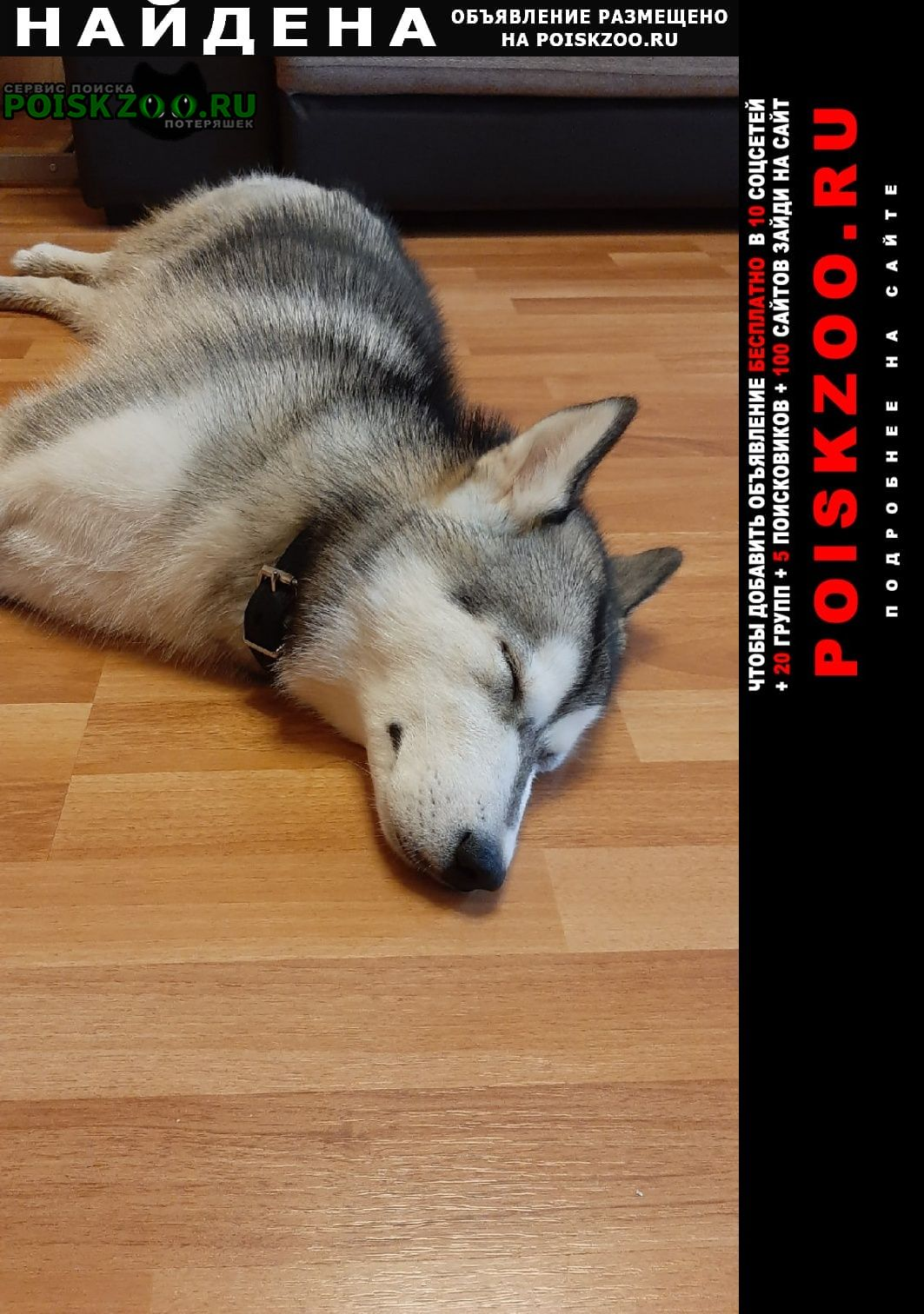 Санкт-Петербург Найдена собака щенок хаски