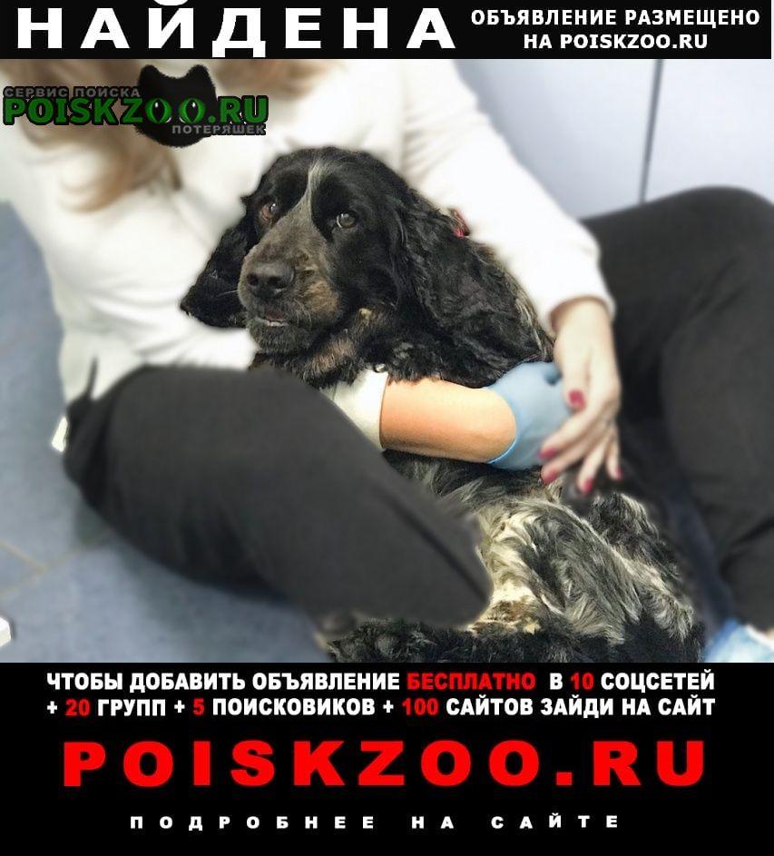 Найдена собака спаниель село хотеичи Орехово-Зуево