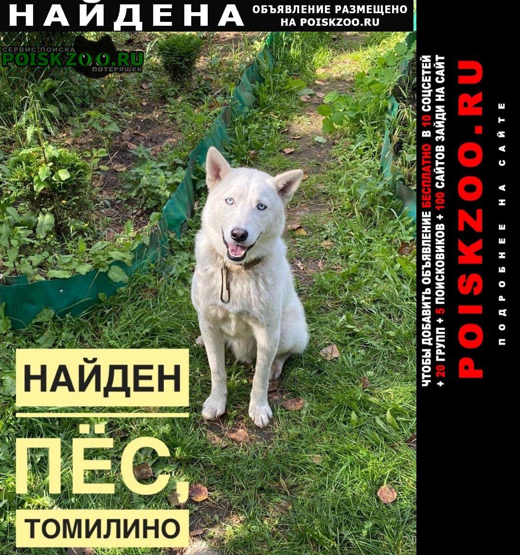 Найдена собака молодой кобель метис хаски Томилино