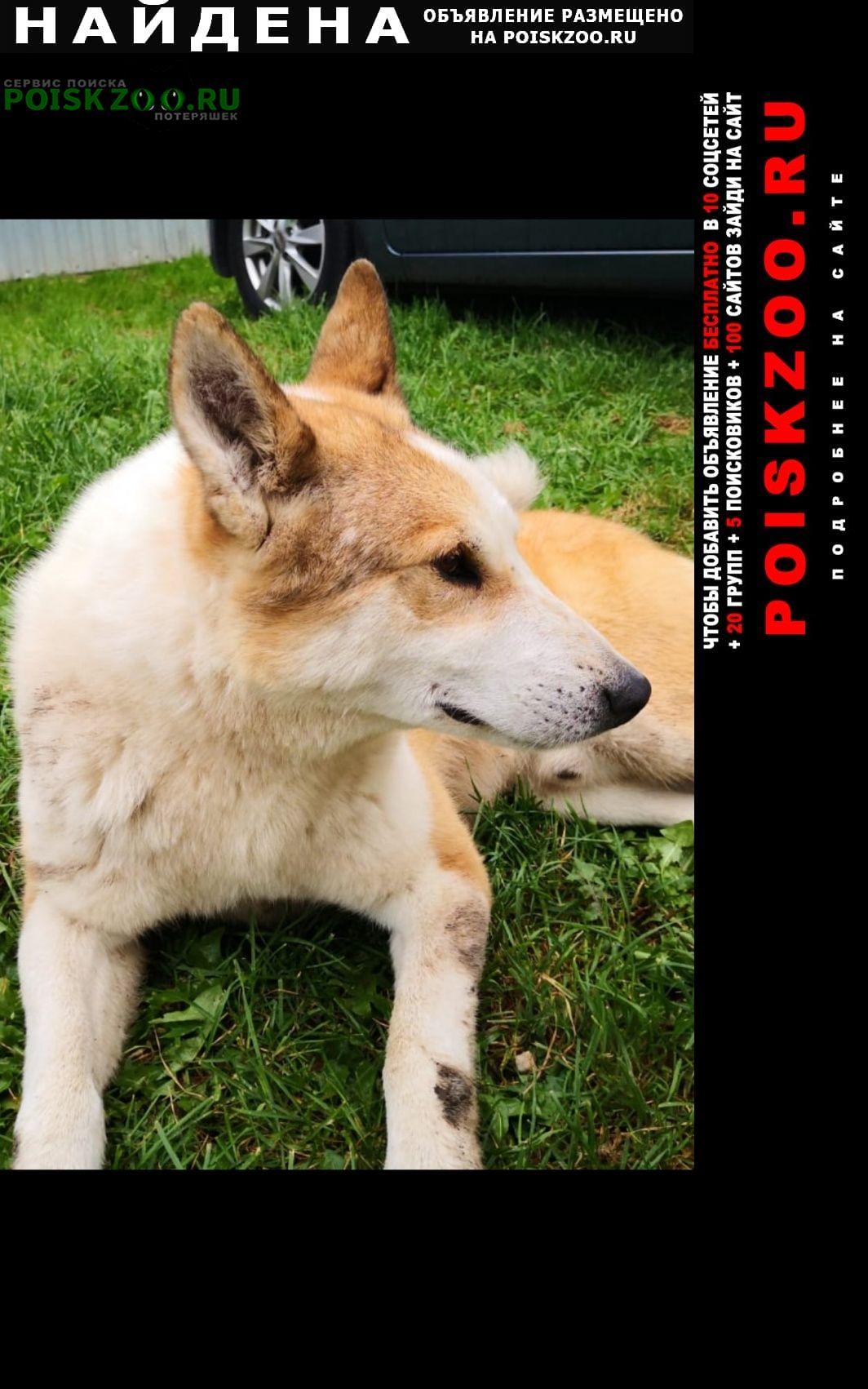 Найдена собака лайка Кольчугино