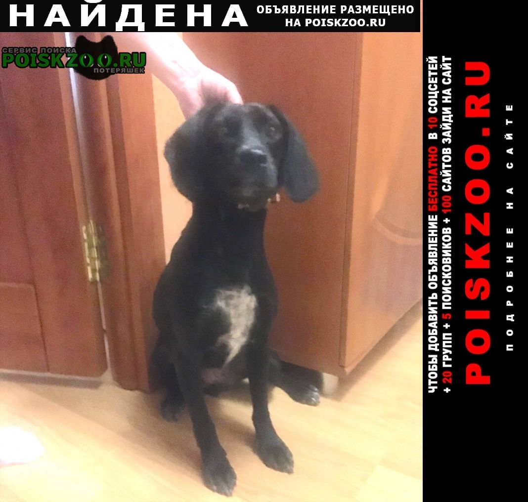 Судогда Найдена собака курцхаар спаниель метис судогодский р-н