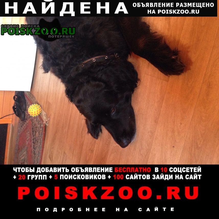 Найдена собака черный прямошерстный ретривер Орехово-Зуево