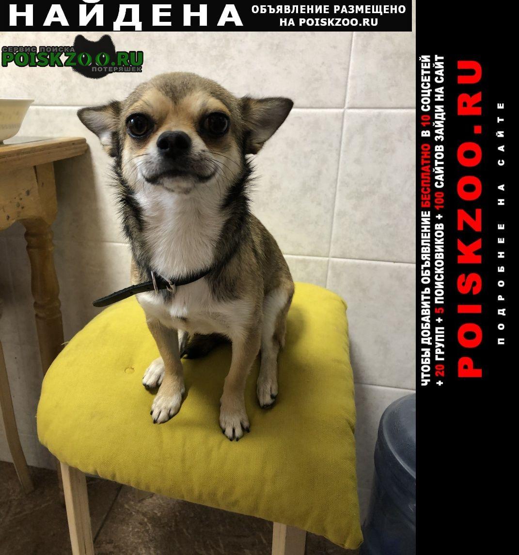 Краснодар Найдена собака чиа хуа
