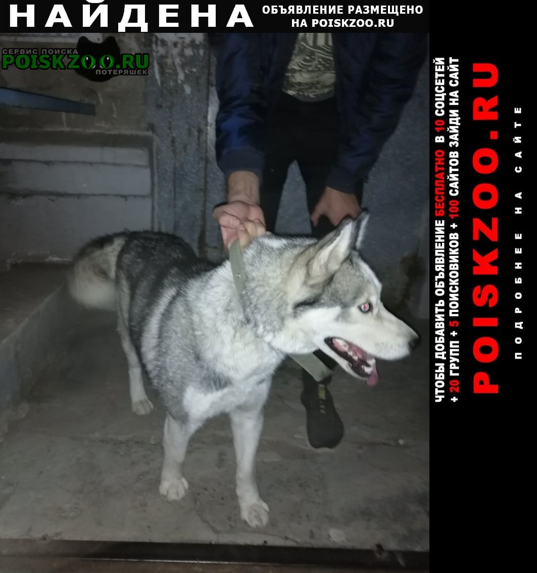 Найдена собака хдружелюбная хаски Волгоград