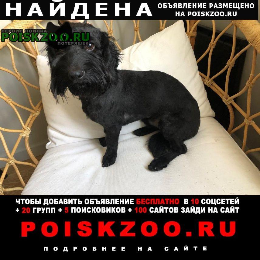 Найдена собака породы чешский терьер Истра