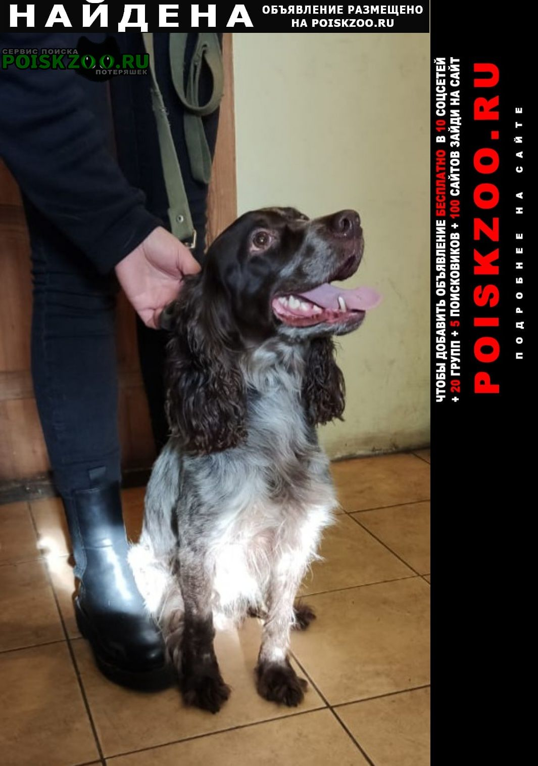 Найдена собака спаниель Санкт-Петербург
