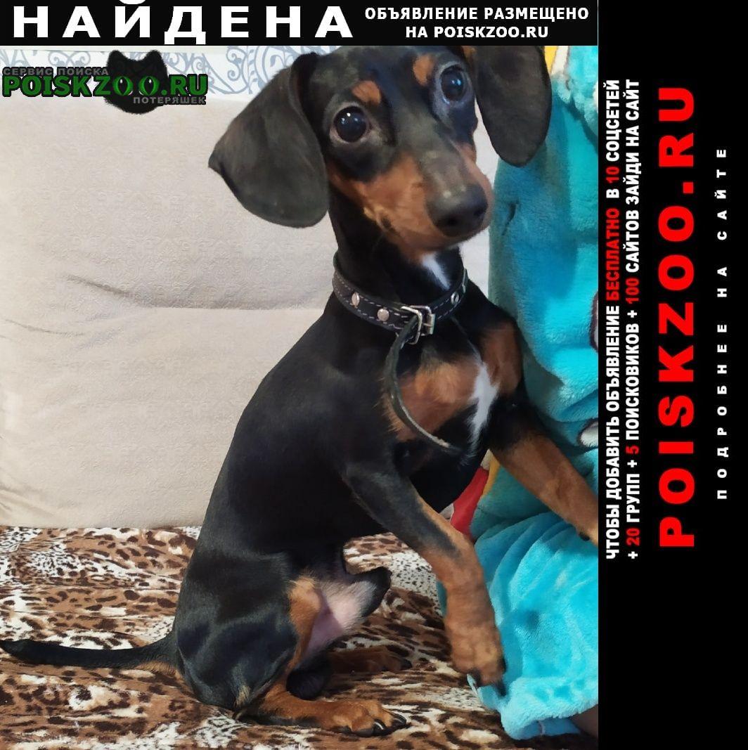 Найдена собака такса. черно-коричневая Хабаровск
