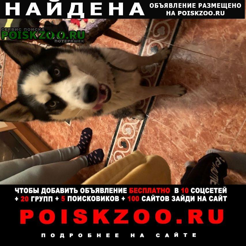 Найдена собака хаски кобель черно белый Москва