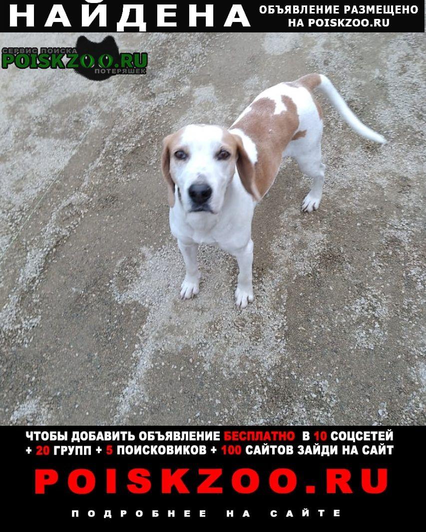 Найдена собака снт кубанские зори, бигль. худой, бегает Краснодар