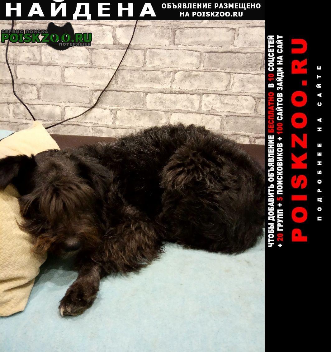 Найдена собака метис миттельшнауцера Воронеж