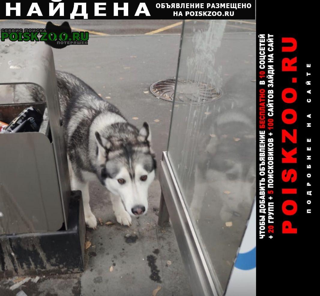 Найдена собака хаски свао, лосиноостровский район Москва
