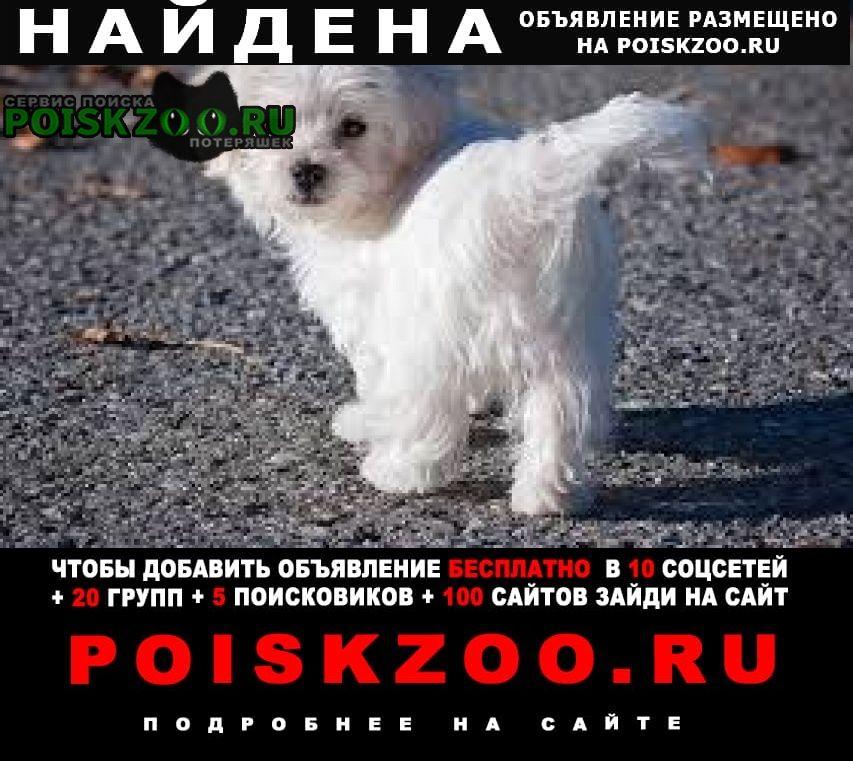 Найдена собака болонка Обнинск