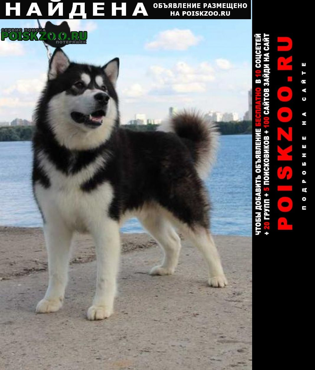 Найдена собака маламут Воронеж