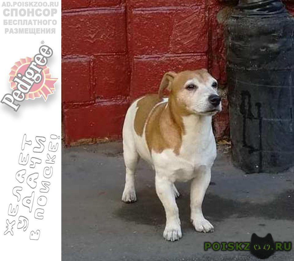 Найдена собака кобель джек-рассел терьер г.Москва