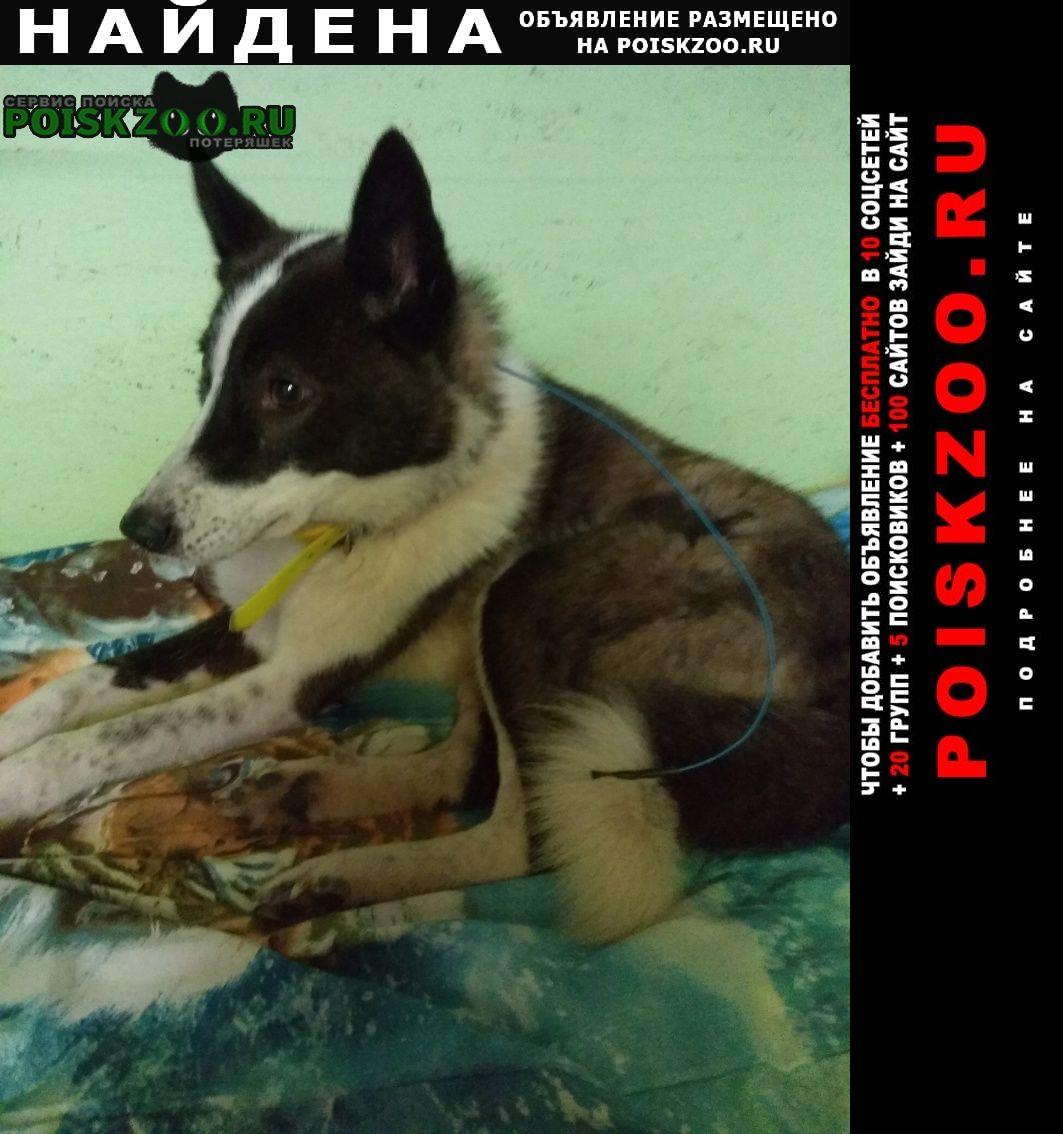 Найдена собака лайка, девочка Бородино (Московская обл.)