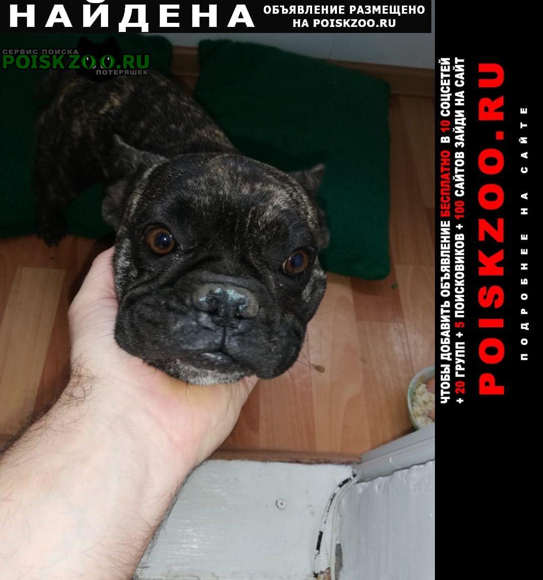 Найдена собака французский бульдог Майкоп (Адыгея)
