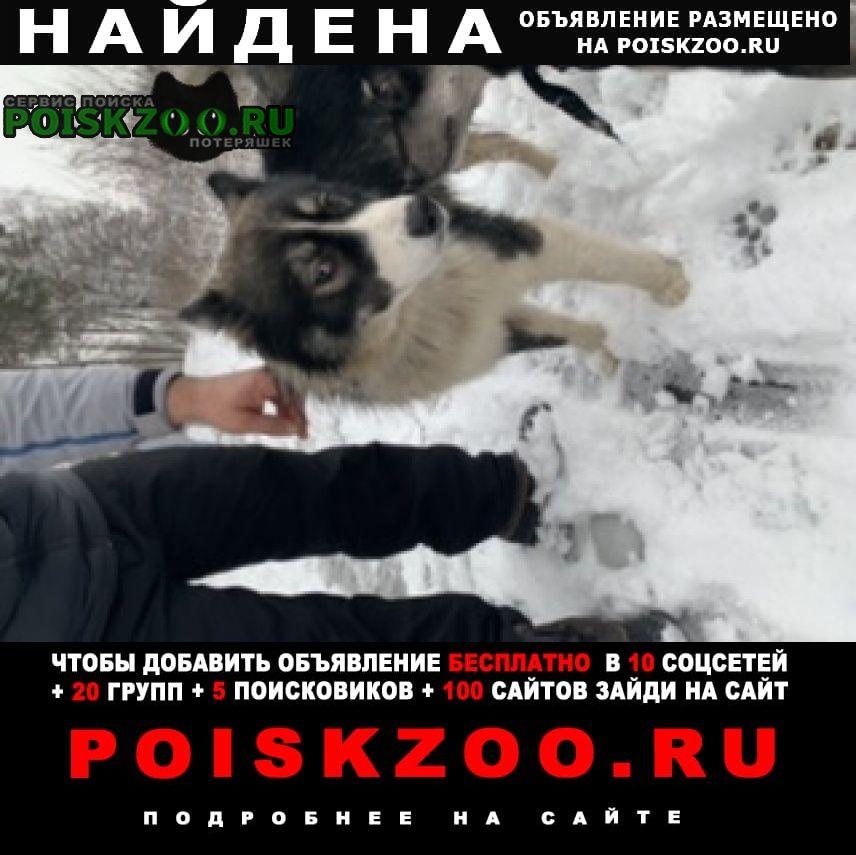 Найдена собака метис хаски Балашиха