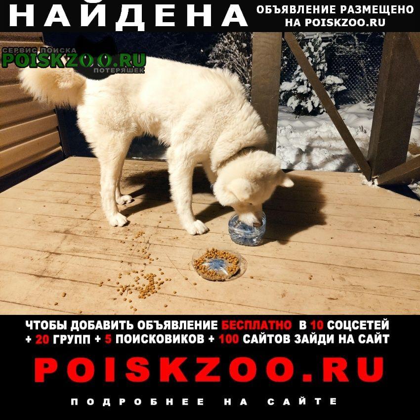 Найдена собака белый кобель акита-ину - в снт лесное Нарофоминск