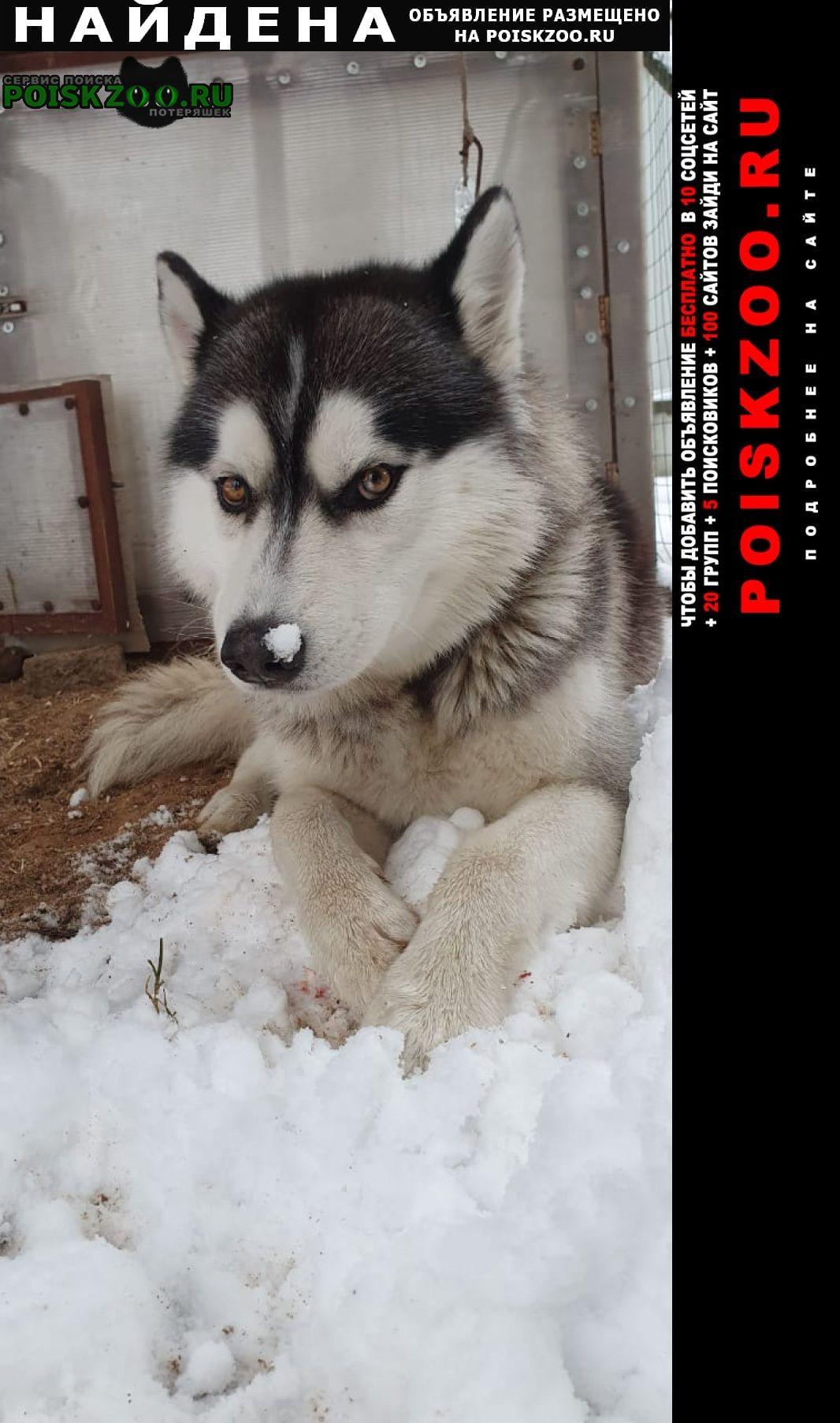Найдена собака хаски, ищет своих хозяев. Электрогорск