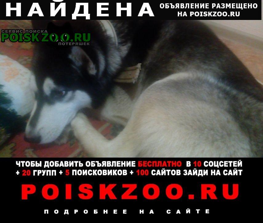 Найдена собака кобель хаски Воронеж