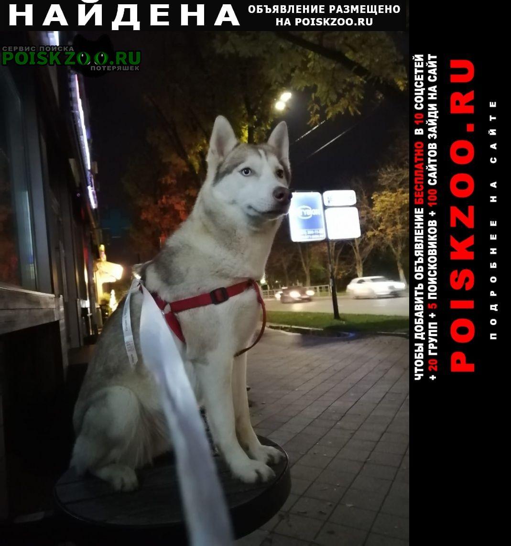 Найдена собака лайка или хаски Краснодар