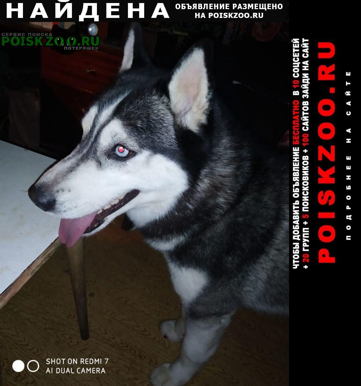 Найдена собака хаски, молодая, 4-6 месяцев Одинцово
