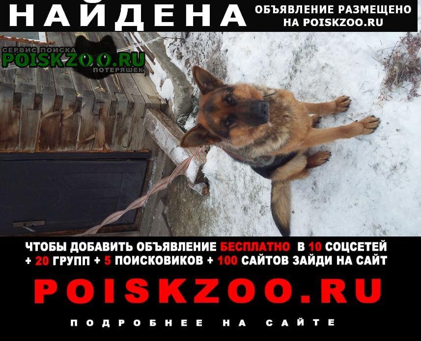Найдена собака кабель породы немецкая овчарка Барнаул