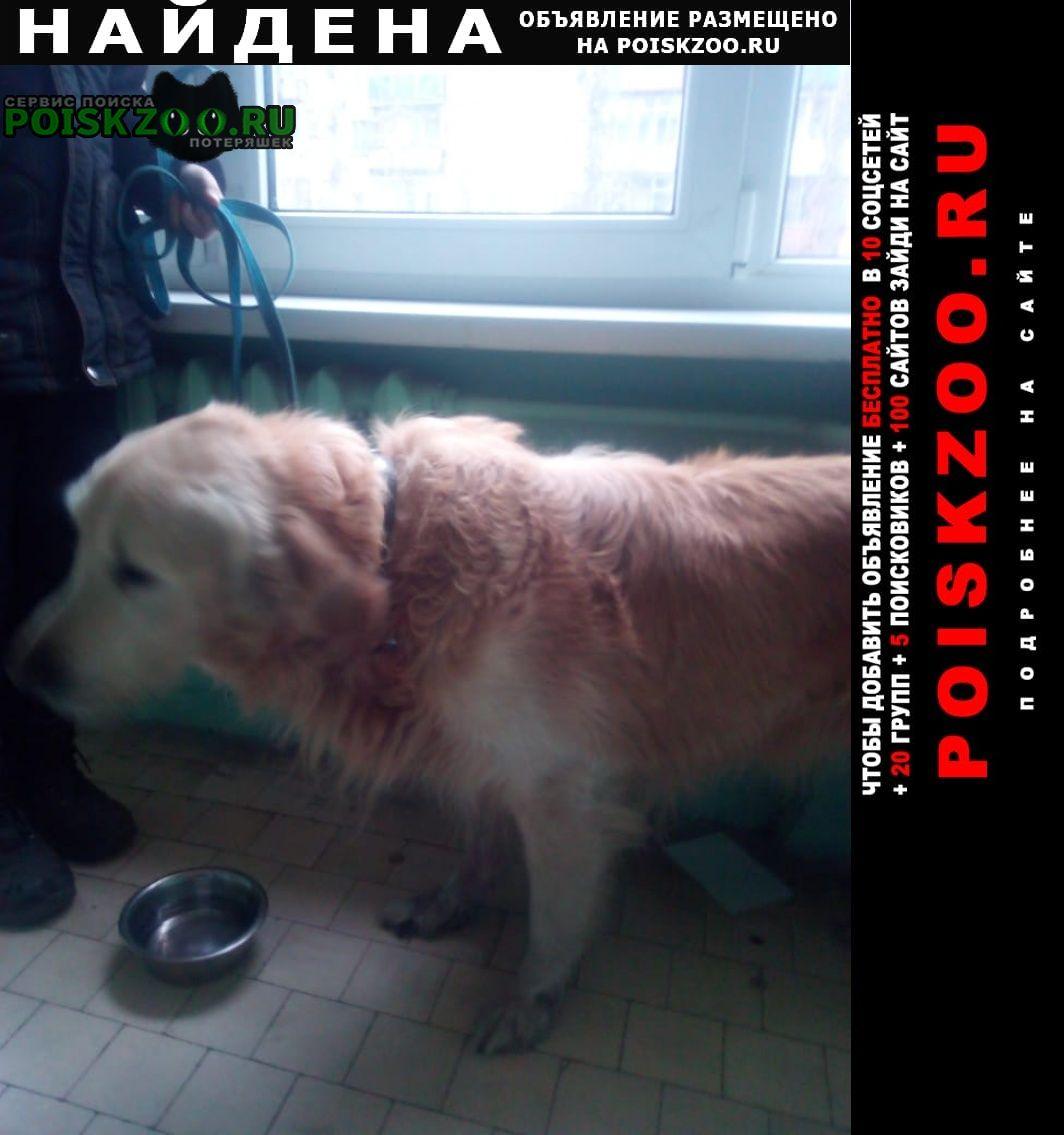 Найдена собака кобель ретривера Воронеж