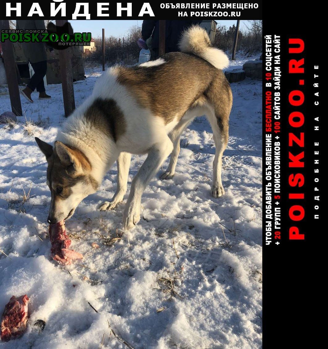 Найдена собака лайка. за усть-курдюмом. Саратов
