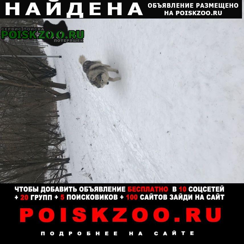 Найдена собака серый сибирский хаски Москва