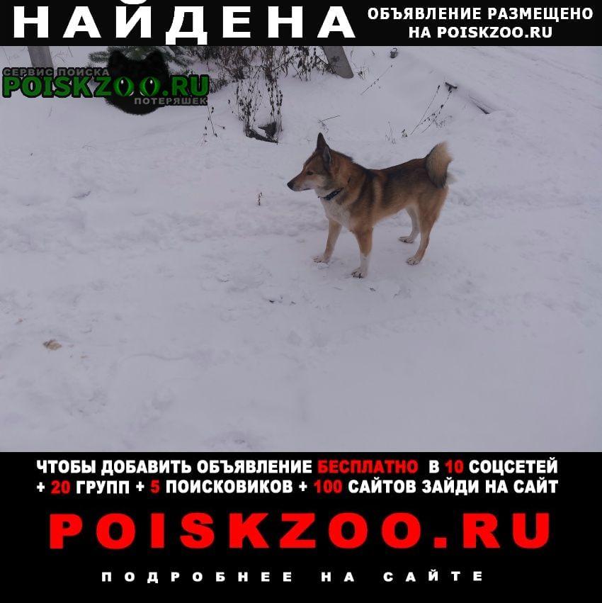 Найдена собака западно-сибирская лайка. Нарофоминск