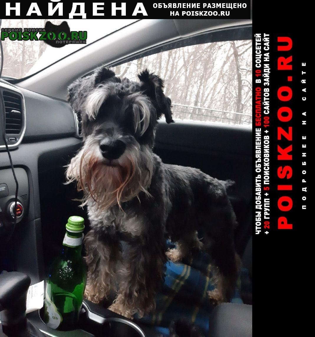Найдена собака пёс цвергшнауцер Санкт-Петербург