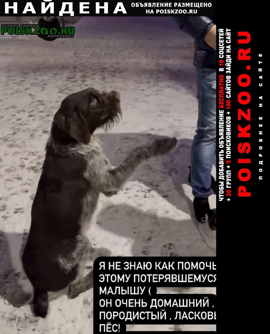 Найдена собака драат хаар Суздаль