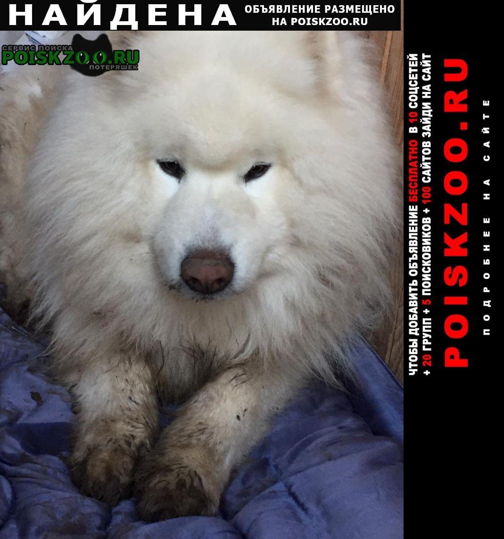 Найдена собака кобель самоеда Краснодар