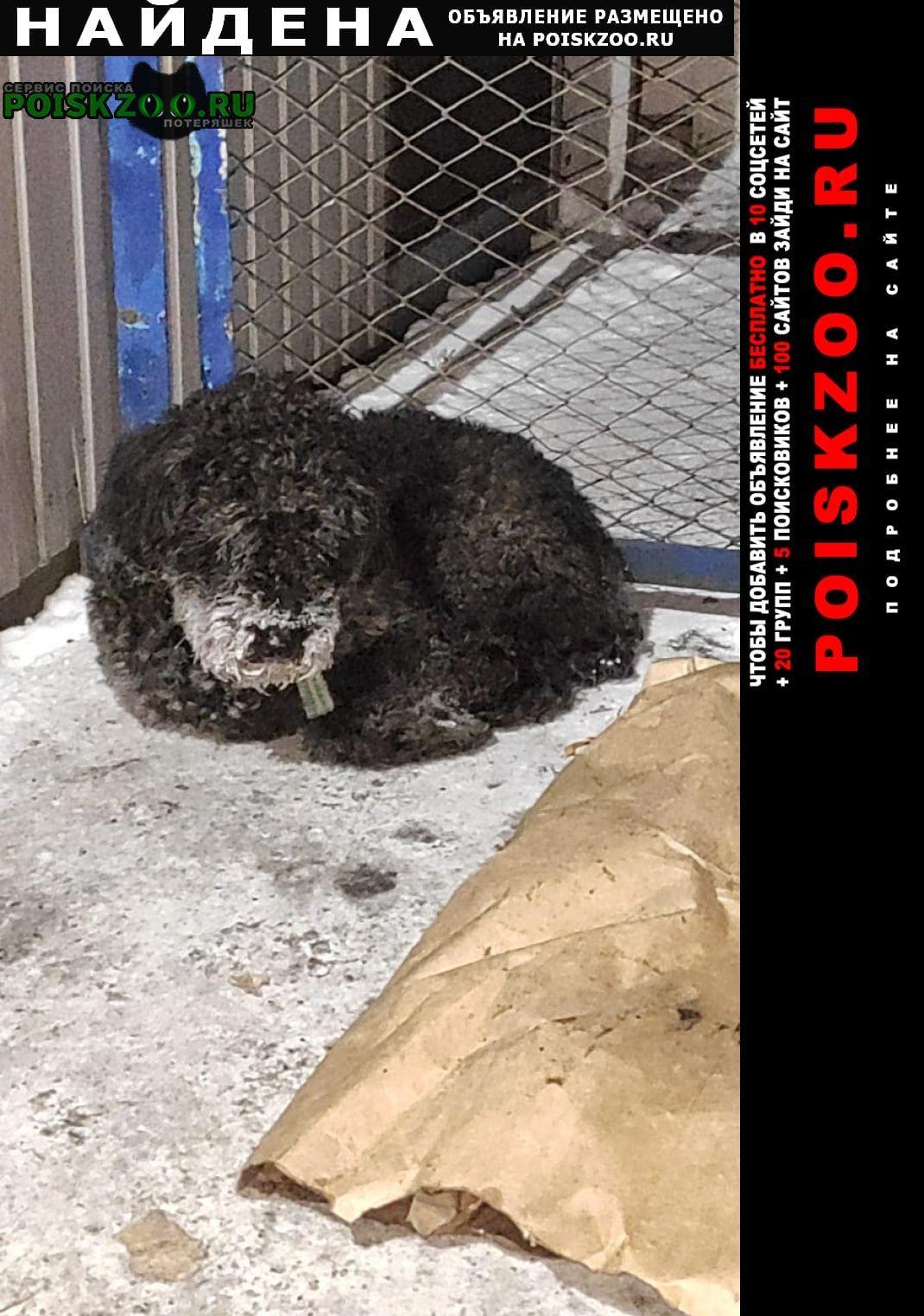Найдена собака с ошейником чёрная кудрявая Омск