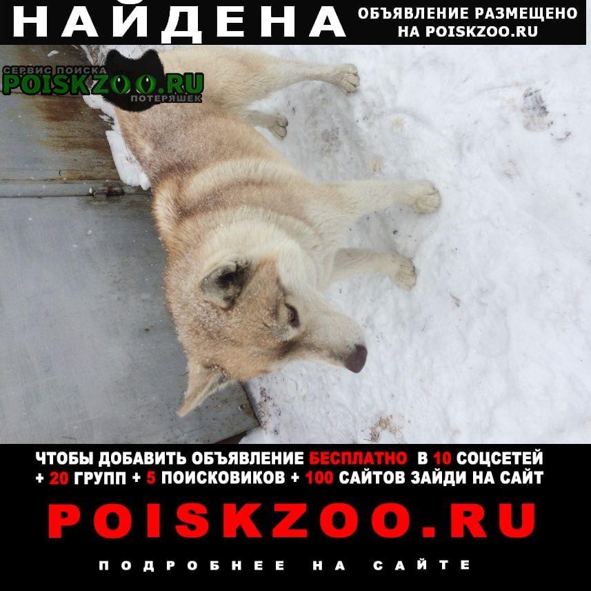 Найдена собака породы хаски. Оренбург