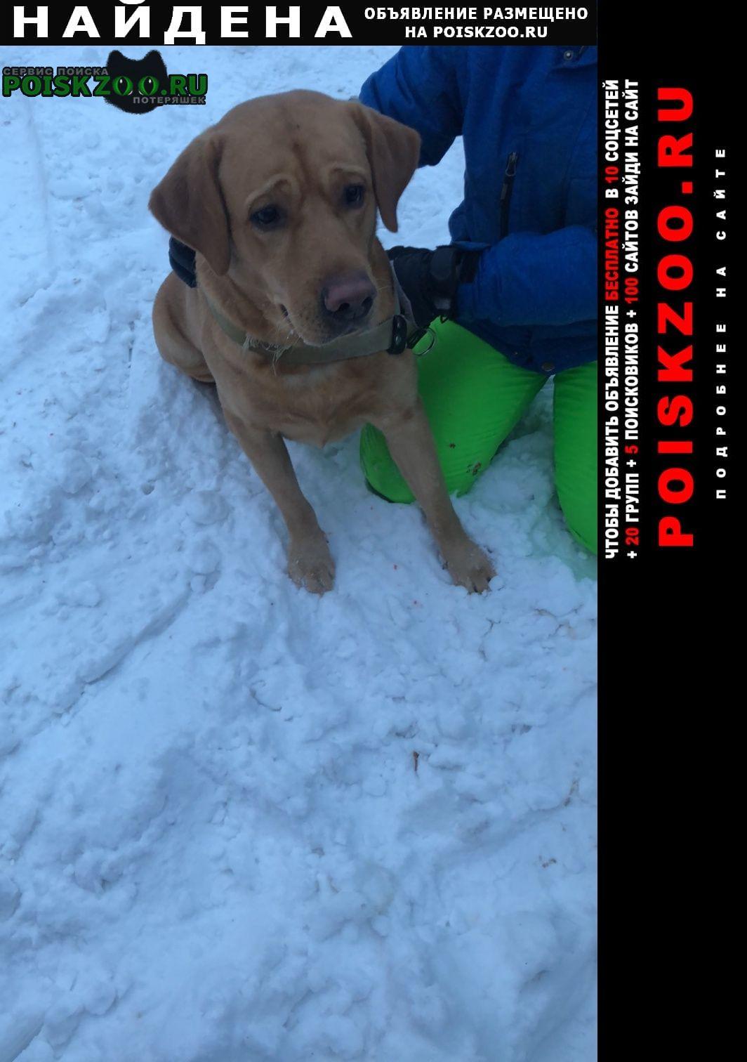 Найдена собака лабрадор, мальчик Красноярск