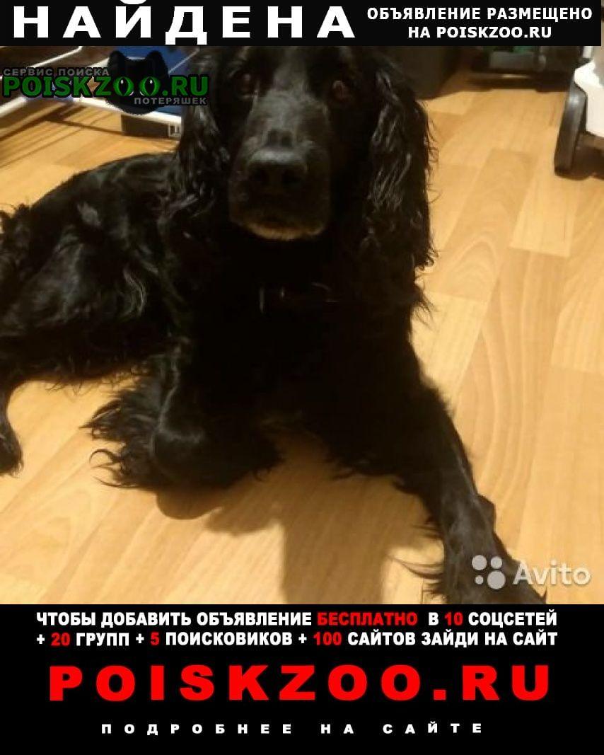 Найдена собака русский спаниель Всеволожск