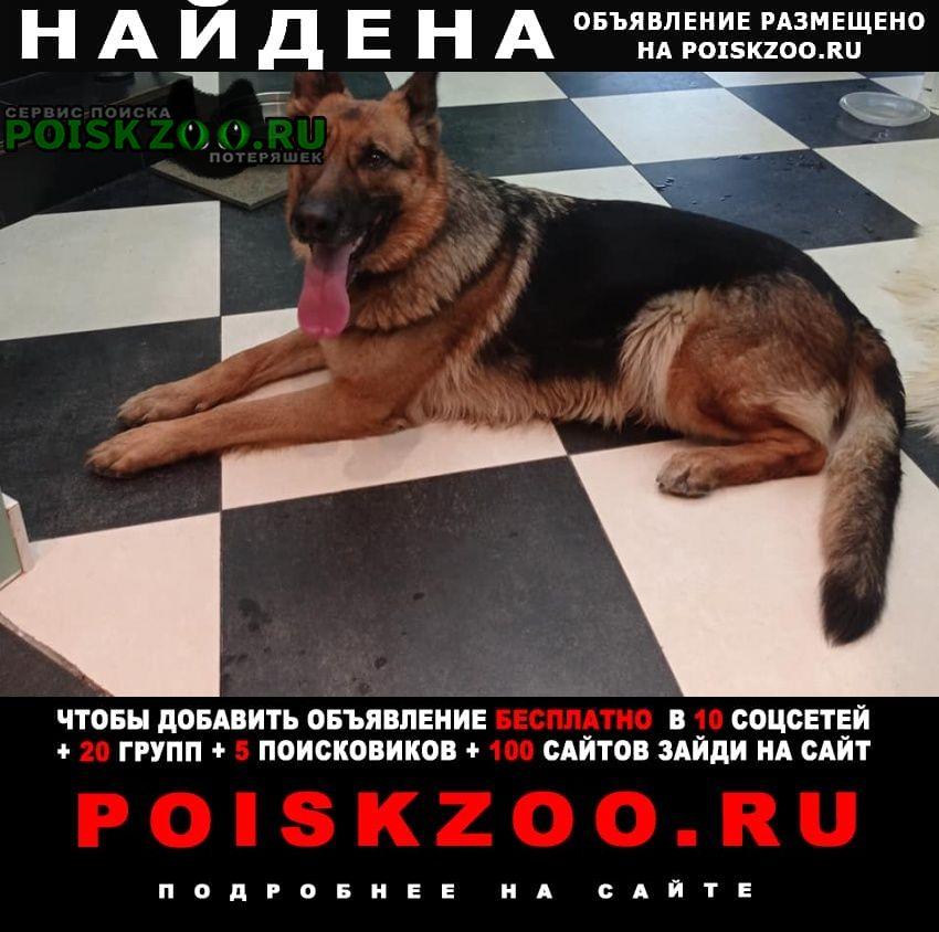 Найдена собака овчарка Нахабино