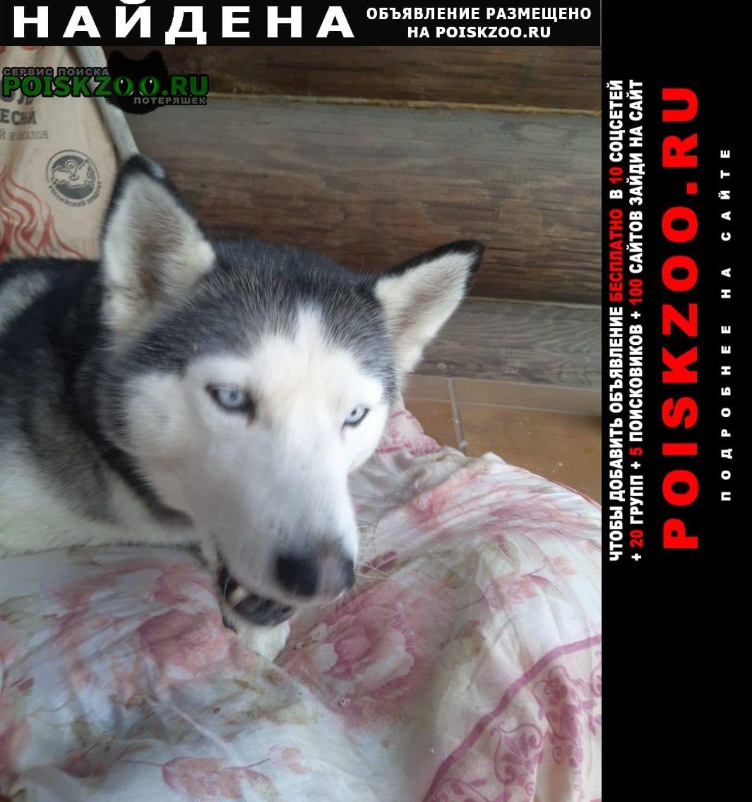 Найдена собака хаски (сука) Мытищи