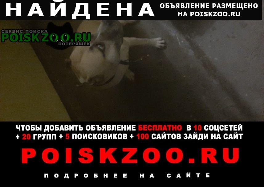 Найдена собака стаффорд девочка Оренбург