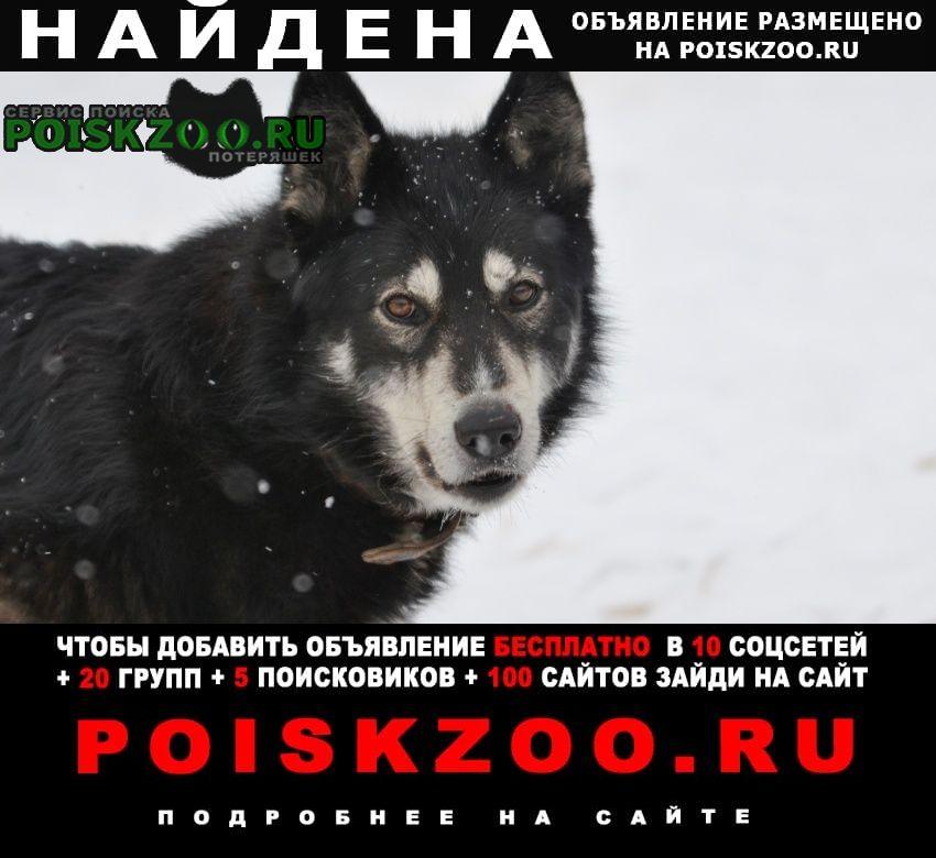 Найдена собака прибилась к дому лайка (хаски) Шатура